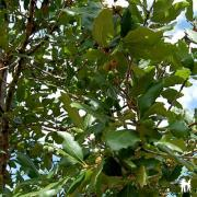 Quercus hispanica Waningen