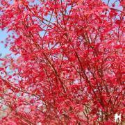 Acer palmatum 'Deshoïo'