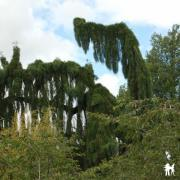 Sequoiadendron giganteum' 'Pendula'