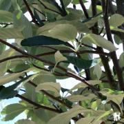 Sorbus aria 'Majestica'