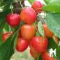 Cerisier Bigarreau Coeur de Pigeon - Pépinières de bazainville