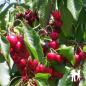 Cerisier Bigarreau Marmotte - Pépinières de bazainville