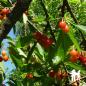 Cerisier Bigarreau Napoléon - Pépinières de bazainville
