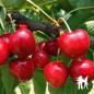 Cerisier Bigarreau Van - Pépinières de bazainville