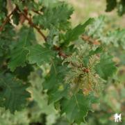 Quercus toza