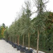 Chêne liège quercus suber