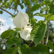 Cornus nuttalli eddie s white wonder