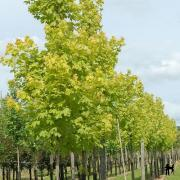 Acer platanoides Princenton Gold