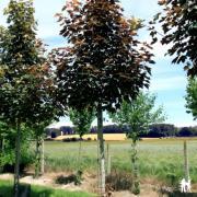 Acer pseudoplatanus 'Purpurens'