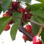 Cerisier Bigarreau Moreau - Pépinières de bazainville