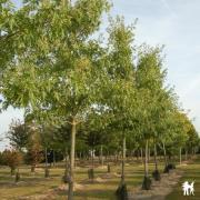 Acer saccharinum 'Wieri'