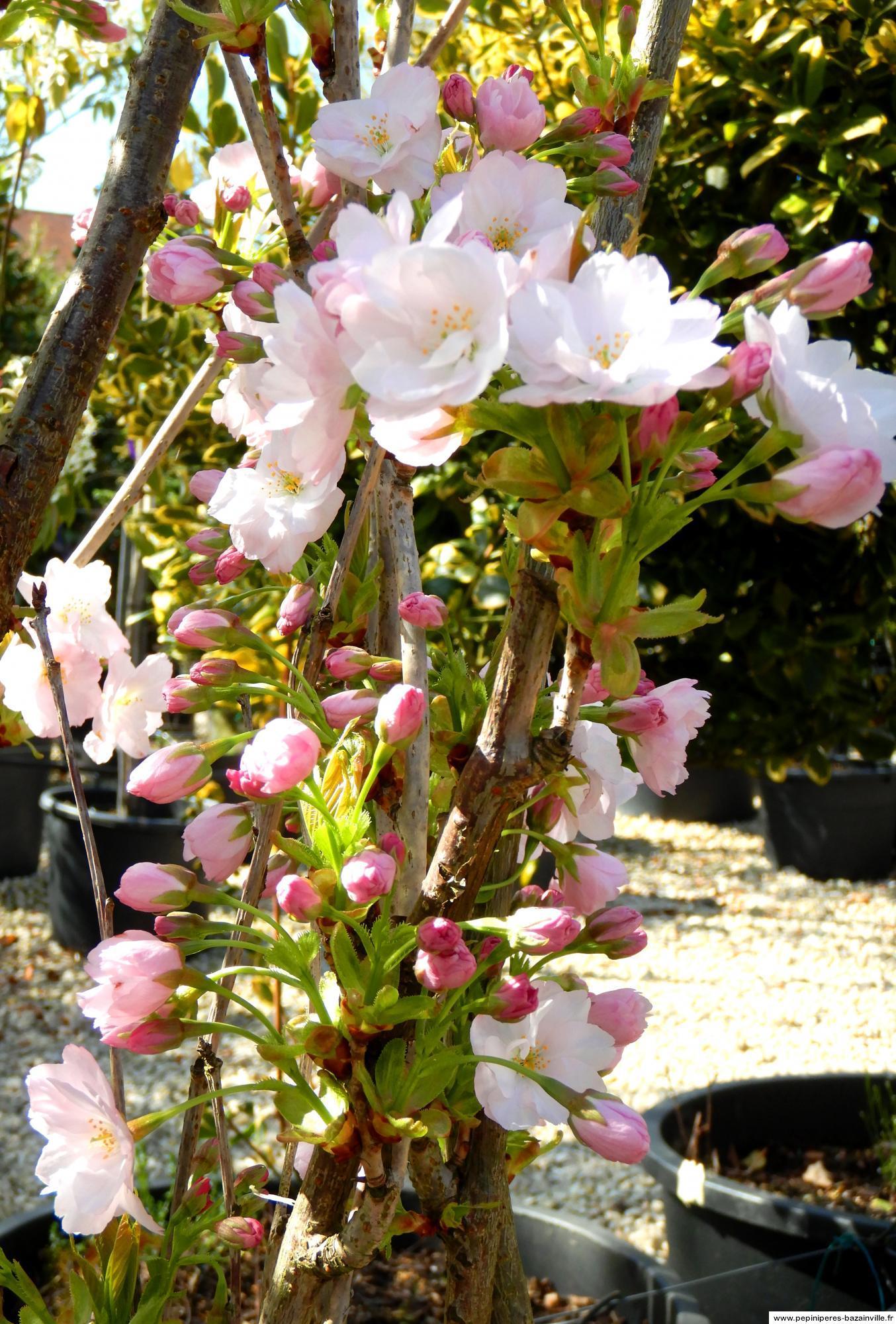 Hauteur Cerisier Du Japon prunus serrulata amanogawa - cerisier colonnaire - cerisier