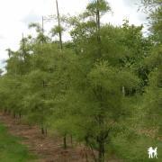 Alnus glutinosa Imperialis