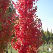 Acer freemanii Autumn Blaze Jeffersred