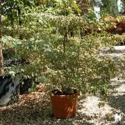 Cornus alternifolia Pinky Spot