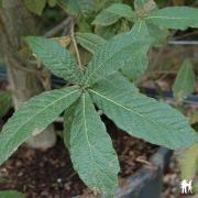 Chêne persistant mexicain quercus rysophylla