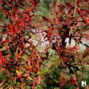 Chêne noir quercus nigra