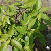 Chêne glauque quercus glauca