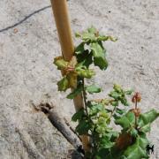 Chêne vert de Californie quercus agrifolia